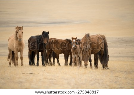 Group of Horses, in Mongolia - stock photo