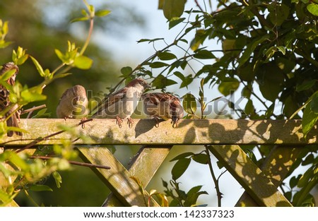 Group of House sparrows sitting on garden fence with climbing plants in evening sun - stock photo