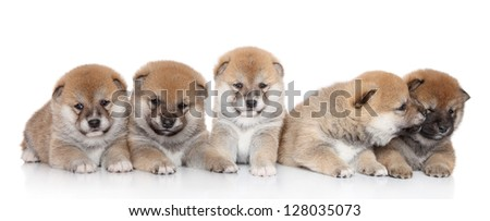 Group of Japanese Shiba Inu puppies lying on a white backgroud - stock photo