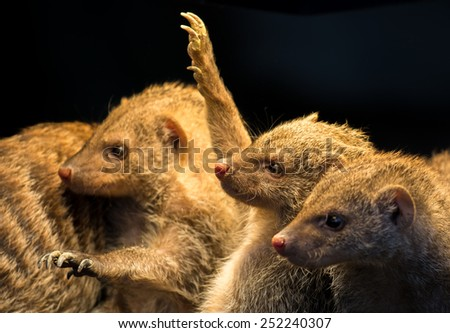 Group Of Juvenile Mongooses - stock photo