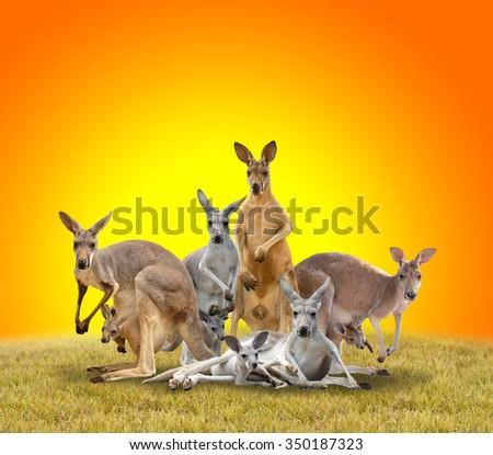 group of kangaroo on dried grass during sunset - stock photo