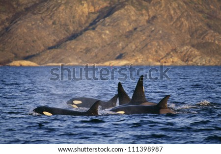 Group of killer whales, Norway - stock photo