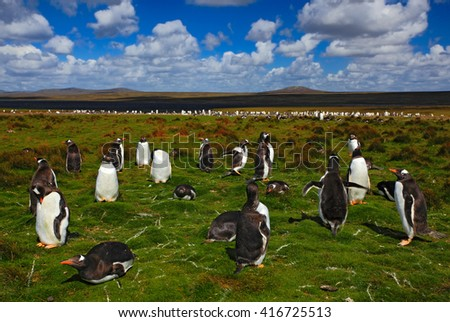 Group of king penguins in the green grass. Gentoo penguins with blue sky with white clouds. Penguins in the nature habitat. Birds from Falkland Island. Penguin with beautiful landscape. - stock photo