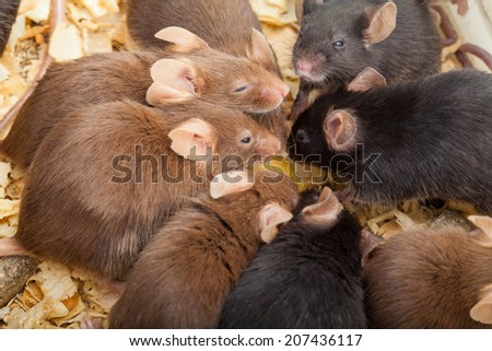 Group of laboratory mouses eating cheese. Top view photo - stock photo
