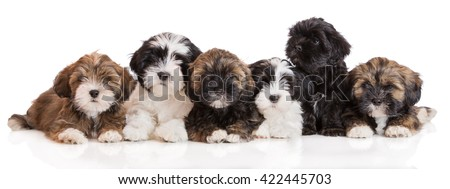 group of lhasa apso puppies lying down on white - stock photo