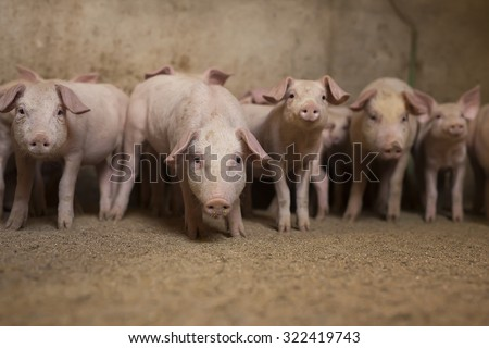 Group of little pigs waiting for food in the pen. Shallow depth of field, focus is on the pig in the middle. - stock photo