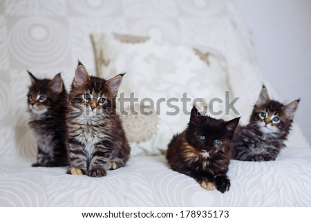 Group of maine coon kittens - stock photo