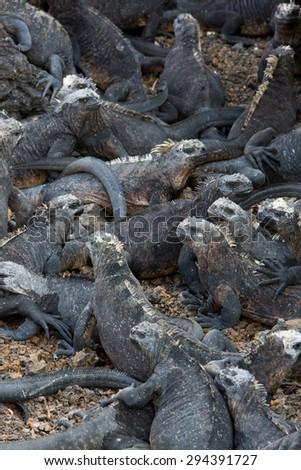 Group of marine iguanas laying on the beach near Puerto Villamil on Isla Isabela. Galapagos islands 2015. - stock photo
