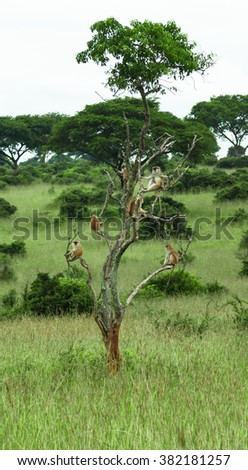 Group of monkeys resting on a big tree on the savanna background in the park Murchison Falls in Uganda - stock photo