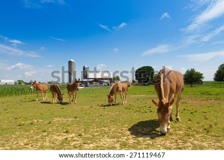 Group of mules in a pasture in Lancaster County dutch country, - stock photo