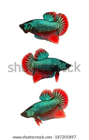 group of multicolor siamese fighting fish on white background - stock photo