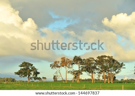 group of old red gum trees in green paddock - stock photo