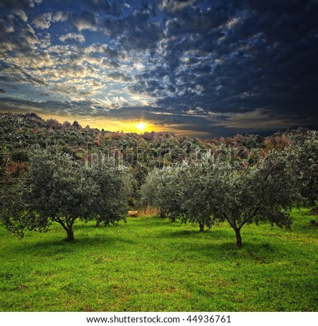 group of olive tree in green field and wood background - stock photo