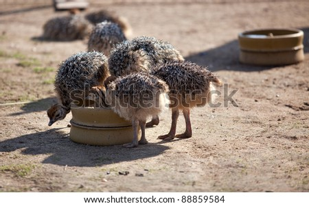 Group of Ostrich fledglings on bird farm in Germany - stock photo