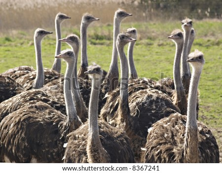 Group of ostrichs - stock photo