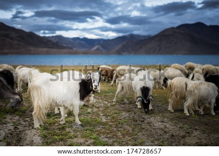 group of Pashmina goat at Pangong Tso Lake - stock photo