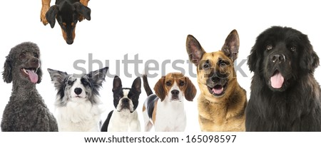 Group of pedigree dogs - stock photo