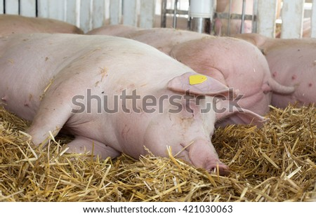 Group of pigs (Large white swine) sleeping on straw in the pen - stock photo