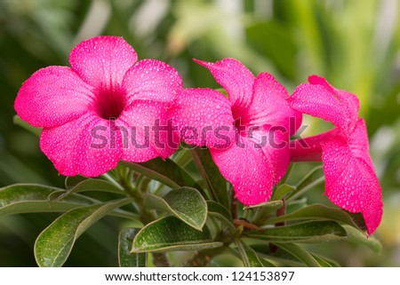 group of pink impala lily - stock photo