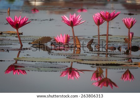 Group of Pink Waterlily flower reflected on surface of water at Thale Noi Waterbird Park, Phatthalung, Thailand  - stock photo