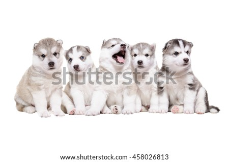 Group of puppies breed the Huskies isolated on white background - stock photo