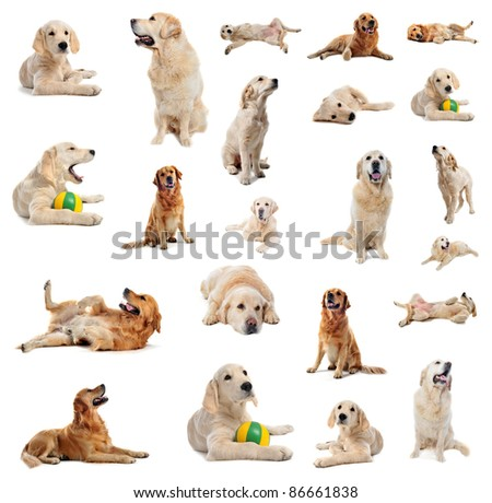 group of purebred golden retriever and puppy  in front of a white background - stock photo