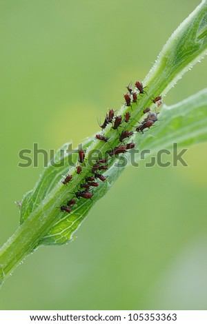 group of red plant-louse sucking plant stalk - stock photo