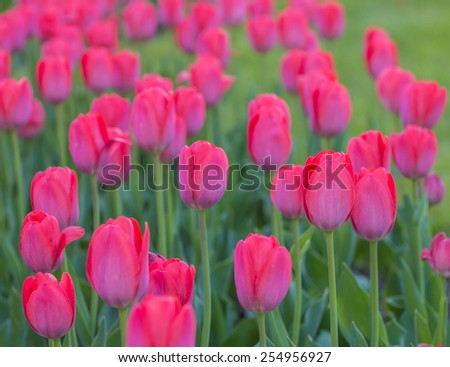 Group of red tulips in the park. Spring landscape. - stock photo