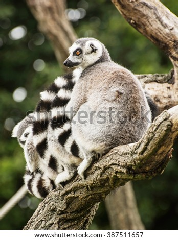 Group of Ring-tailed lemurs (Lemur catta) resting on the tree branch. Animal theme. Vertical composition. - stock photo