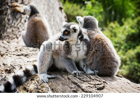 Group of Ring-tailed lemurs (Lemur catta) resting on the tree trunk. - stock photo