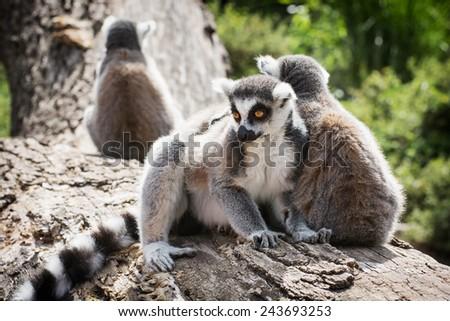 Group of Ring-tailed lemurs (Lemur catta) resting on the tree trunk. Animal theme. - stock photo