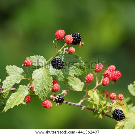 Group of ripe and ripening wild blackberries outdoors - stock photo