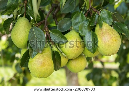 Group of ripe healthy yellow and green pears growing on the branch of a pear tree, in a genuine organic orchard - stock photo