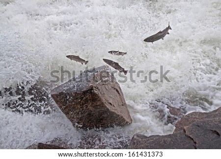 Group of salmon jumping upstream in the river. Laksforsen waterfall, Norway.  Canon 5D. - stock photo