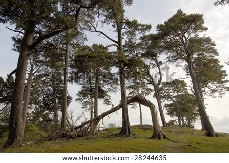 Group of Scots pines on hilltop near Aviemore, Scotland - stock photo
