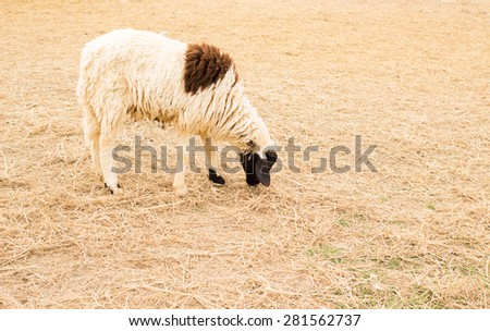 Group of sheep ready to follow - stock photo