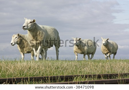 Group of sheep walking across a field along old railway lines - stock photo