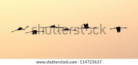 Group of six flamingos flying in the sky by sunset - stock photo