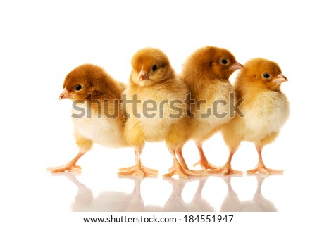 Group of small chicks. Isolated on white. - stock photo