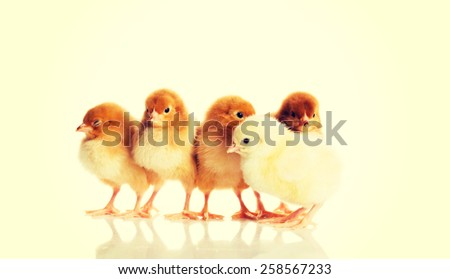 Group of small Easter chicks. - stock photo