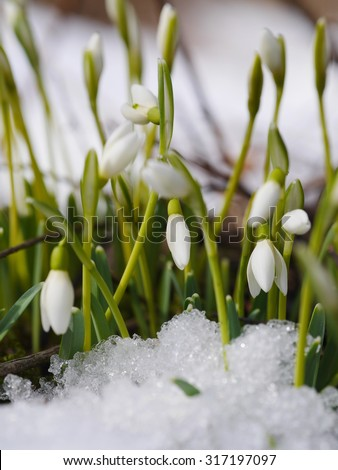Group of snowdrop flowers  growing in snow - stock photo