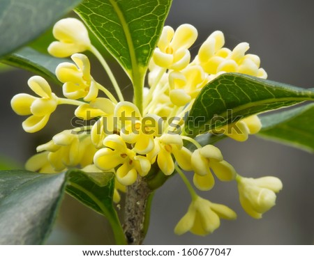 Group of Sweet osmanthus flower and leaves close up - stock photo