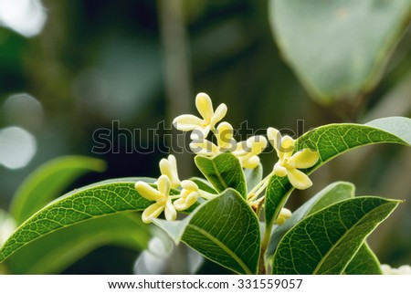 Group of Sweet osmanthus or Sweet olive flowers blossom on its tree - stock photo