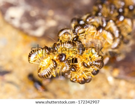 group of termite wood eater - stock photo