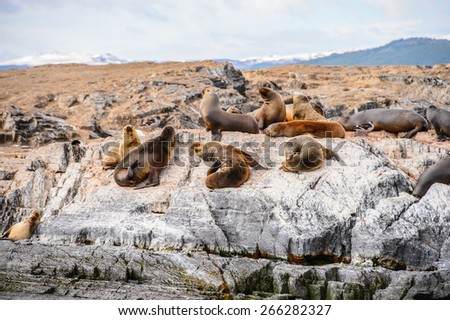 Group of the sea lions on the rock, Beagle Channel - stock photo