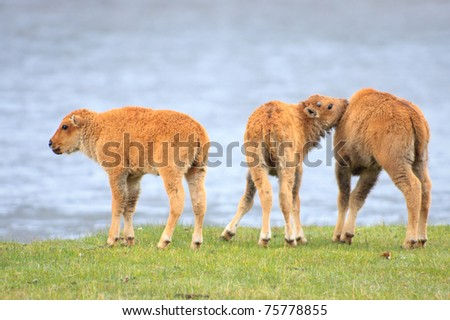 Group of three bison calves playing next to a river. - stock photo