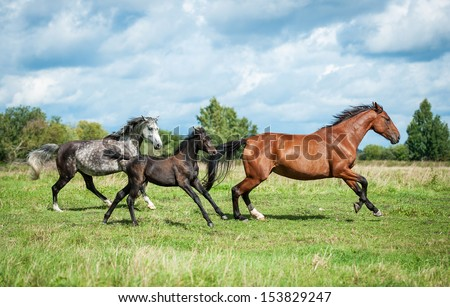 Group of three horses running on the meadow - stock photo