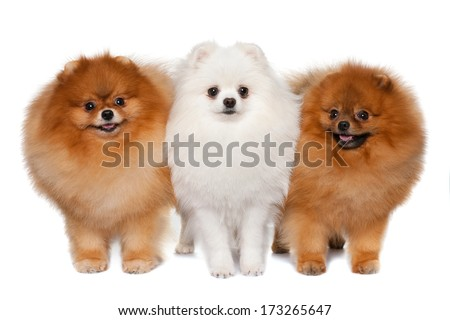 Group of three pomeranian spitzes are standing together - stock photo