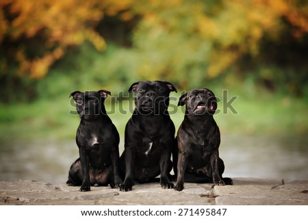 Group of three trained english staffordshire terrier dogs - stock photo