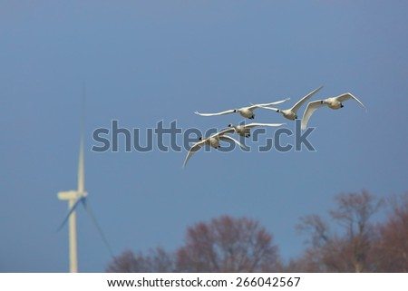 Group of Tundra Swans (Cygnus columbianus) Flying Against a Blue Sky with a Wind Turbine in the Background - Ontario, Canada - stock photo